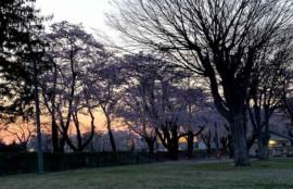 ゴールデンウィークの夕方桜