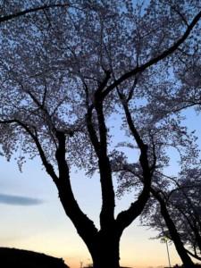 ゴールデンウィーク 夕方の一本の桜
