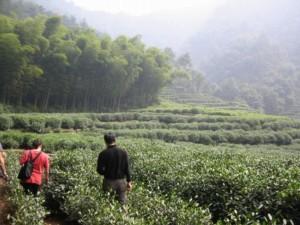 中国の茶畑